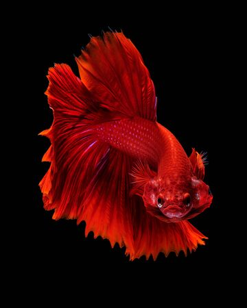 animal fight: Capture the moving moment of red siamese fighting fish isolated on black background. Dumbo betta fish