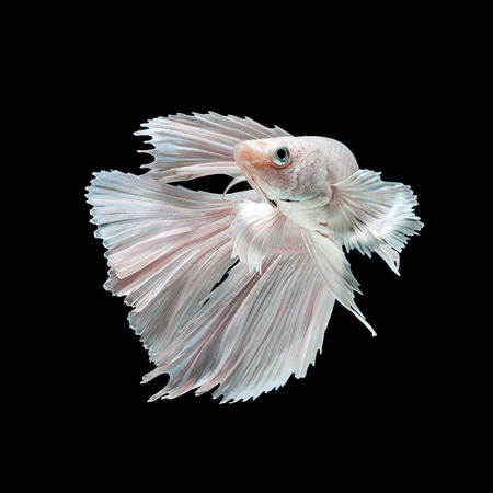 Capture the moving moment of white siamese fighting fish isolated on black background. Dumbo betta fish photo