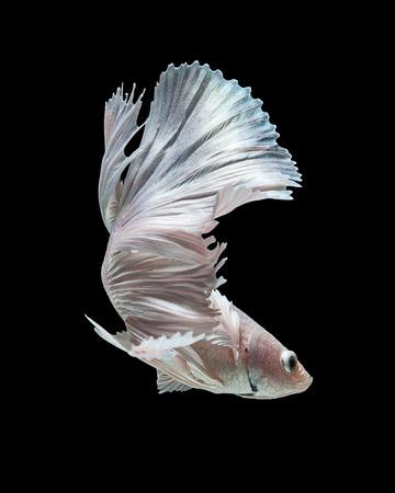 combate: Captura el momento en movimiento del blanco peces luchadores siameses aislado sobre fondo negro. Dumbo pez Betta