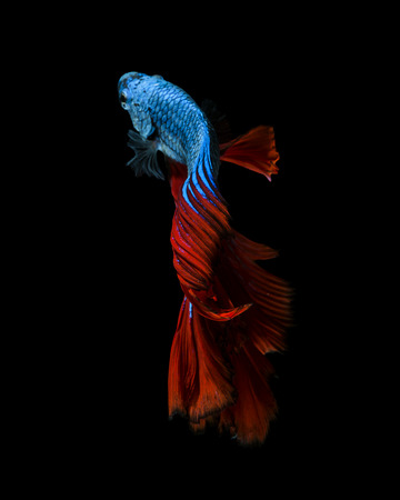 fineart: Capture the moving moment of red-blue siamese fighting fish isolated on black background.  Betta fish Stock Photo