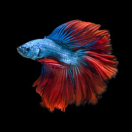 pez pecera: Captura el momento en movimiento del blanco peces luchadores siameses aislado sobre fondo negro. Pez Betta