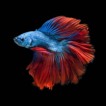exotic: Capture the moving moment of white siamese fighting fish isolated on black background. Betta fish Stock Photo