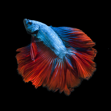 Capture the moving moment of red-blue siamese fighting fish isolated on black background.  Betta fish photo