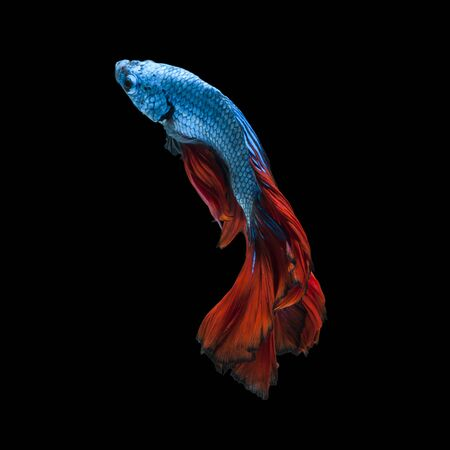 capture the moment: Capture the moving moment of red-blue siamese fighting fish isolated on black background.  Betta fish Stock Photo