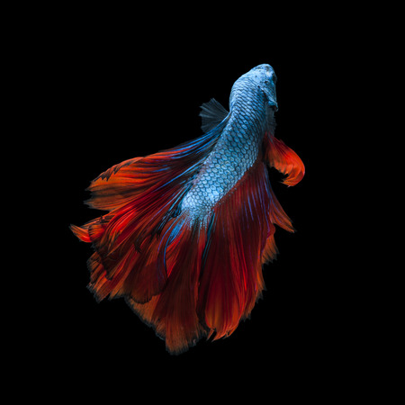 Capture the moving moment of redblue siamese fighting fish isolated on black background.  Betta fish photo