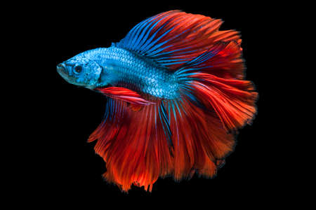 capture the moment: Capture the moving moment of redblue siamese fighting fish isolated on black background.  Betta fish