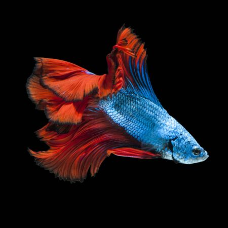 fish isolated: Capture the moving moment of red-blue siamese fighting fish isolated on black background.  Betta fish Stock Photo