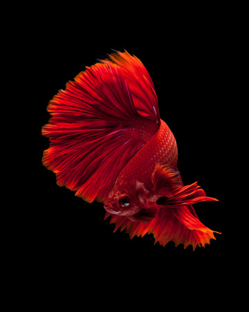 Capture the moving moment of red siamese fighting fish isolated on black background. Dumbo betta fish photo