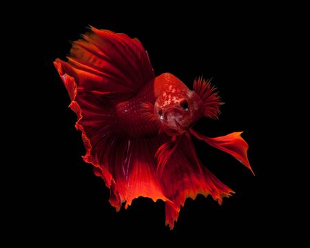 fight: Capture the moving moment of red siamese fighting fish isolated on black background. Dumbo betta fish