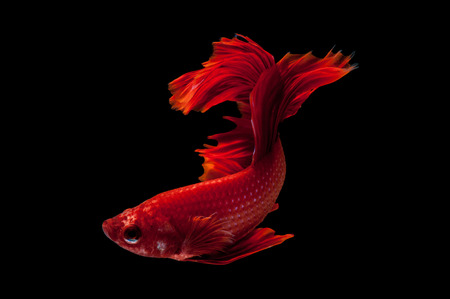Capture the moving moment of red siamese fighting fish isolated on black background. Dumbo betta fish Stock Photo - 40931177