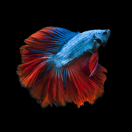 Capture the moving moment of red-blue siamese fighting fish isolated on black background.  Betta fish Stock Photo