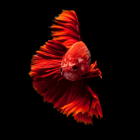 Capture the moving moment of red siamese fighting fish isolated on black background. Dumbo betta fish Stock Photo - 40973864