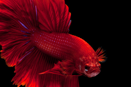 fineart: Capture the moving moment of red siamese fighting fish isolated on black background. Dumbo betta fish