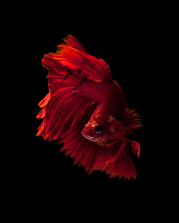 capture the moment: Capture the moving moment of red siamese fighting fish isolated on black background. Dumbo betta fish