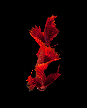 Capture the moving moment of red siamese fighting fish isolated on black background. Dumbo betta fish