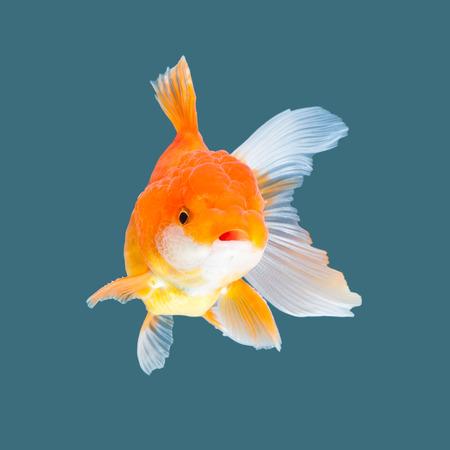 Oranda goldfish isolated on water color background.