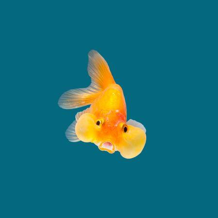 goldfish isolated: Goldfish isolated on water color background.
