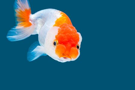 ranchu: Ranchu goldfish isolated on water color background.