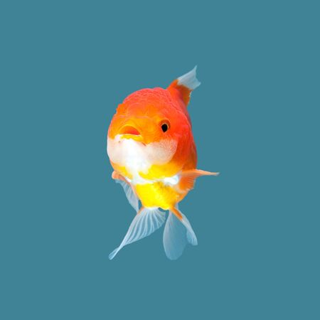 Oranda goldfish isolated on water color background.