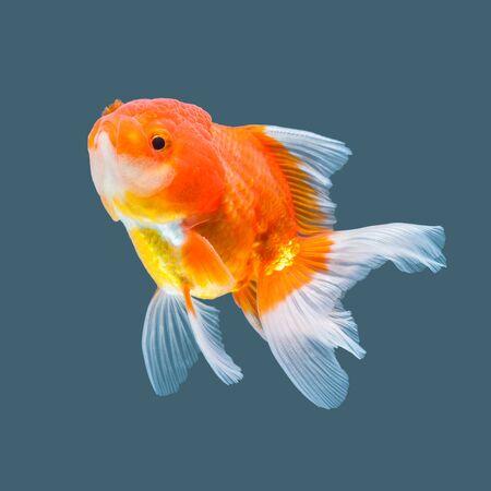 peces de colores: Oranda Goldfish aislado en el fondo de color del agua.