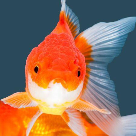 oranda: Oranda Goldfish isolato su colore di sfondo acqua.