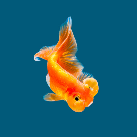 Goldfish isolated on water color background.