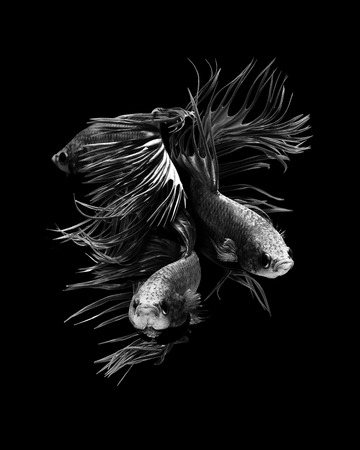Crowntail betta fish, siamese fighting fish on black background