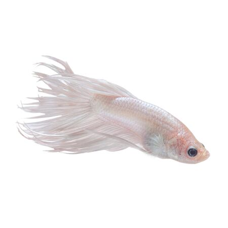 capture the moment: Capture the moving moment of white siamese fighting fish isolated on black background. Crowntail betta fish Foto de archivo