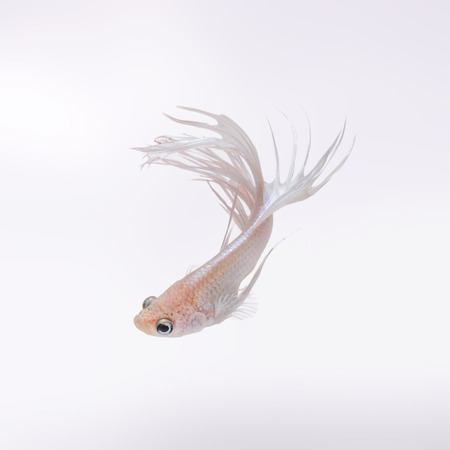 capture the moment: Capture the moving moment of white siamese fighting fish isolated on black background. Crowntail betta fish Stock Photo