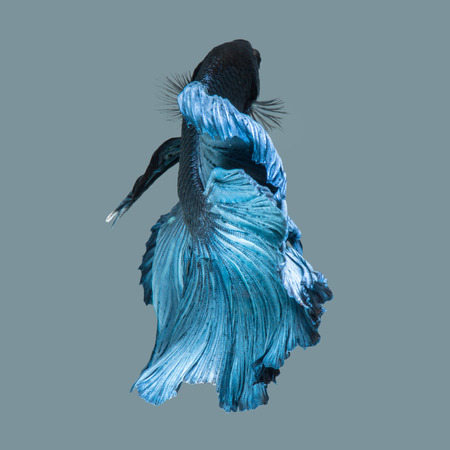 capture the moment: Capture the moving moment of blue siamese fighting fish isolated on blue background. Betta fish