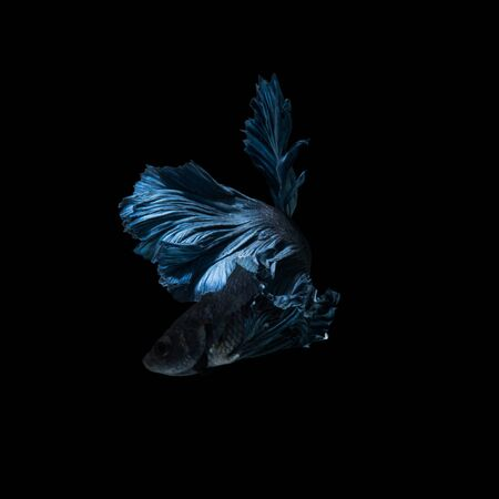 blue siamese: Capture the moving moment of blue siamese fighting fish isolated on black background. Betta fish