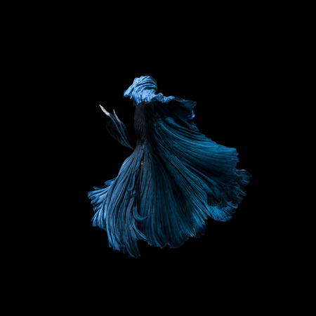 capture the moment: Capture the moving moment of blue siamese fighting fish isolated on black background. Betta fish