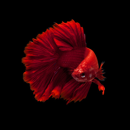 betta: Capture the moving moment of red siamese fighting fish isolated on black background. Dumbo betta fish