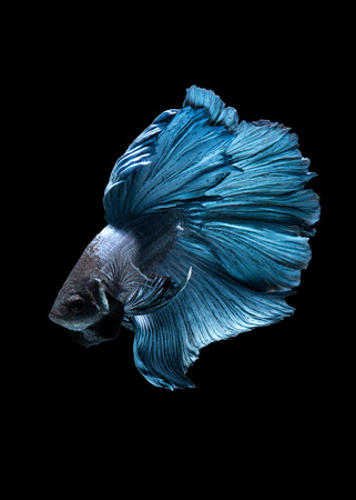 fineart: Capture the moving moment of blue siamese fighting fish isolated on blue background. Betta fish