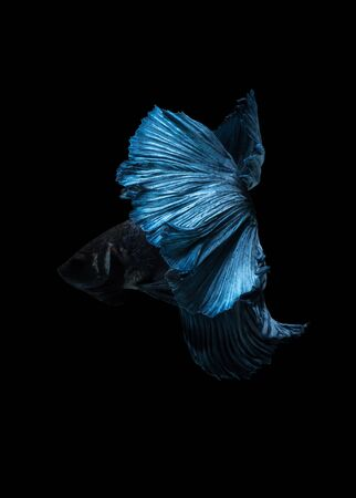 Capture the moving moment of blue siamese fighting fish isolated on blue background. Betta fish