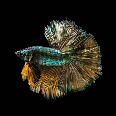 capture the moment: Capture the moving moment of golden copper siamese fighting fish isolated on black background. Betta fish