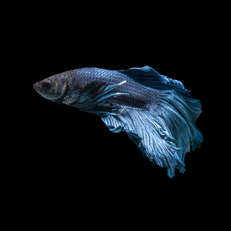 blue fish: Capture the moving moment of blue siamese fighting fish isolated on blue background. Betta fish