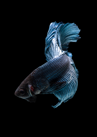 blue siamese: Capture the moving moment of blue siamese fighting fish isolated on blue background. Betta fish