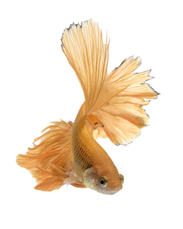 Capture the moving moment of yellow siamese fighting fish isolated on white background. Betta fish Stock Photo