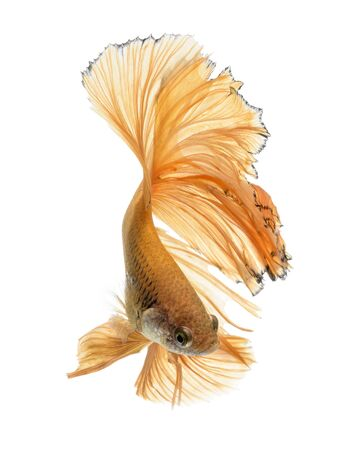 fineart: Capture the moving moment of yellow siamese fighting fish isolated on white background. Betta fish Stock Photo