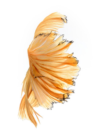 capture the moment: Capture the moving moment of yellow siamese fighting fish isolated on white background. Betta fish Foto de archivo