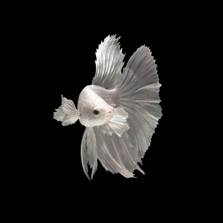 fineart: Capture the moving moment of white siamese fighting fish isolated on black background. Dumbo betta fish