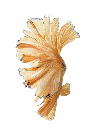 capture the moment: Capture the moving moment of yellow siamese fighting fish isolated on white background. Betta fish Stock Photo