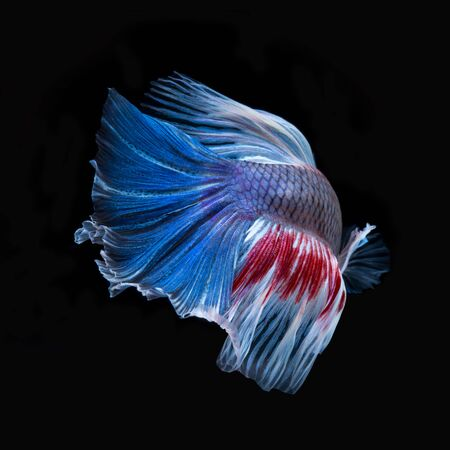 fineart: Betta fish in black background. Capture the moving moment of red-blue siamese fighting fish isolated on black background. Fish of Thailand