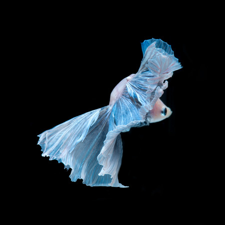 blue siamese: Capture the moving moment of blue siamese fighting fish isolated on black background. Betta fish. Fish of Thailand