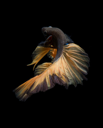 fineart: Capture the moving moment of brown siamese fighting fish isolated on black background. Betta fish