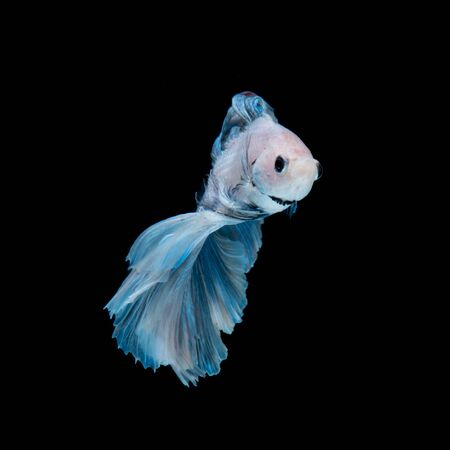 betta: Capture the moving moment of blue siamese fighting fish isolated on black background. Betta fish. Fish of Thailand
