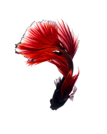 fineart: Capture the moving moment of red siamese fighting fish isolated on white background. Betta fish. Fish of Thailand Stock Photo