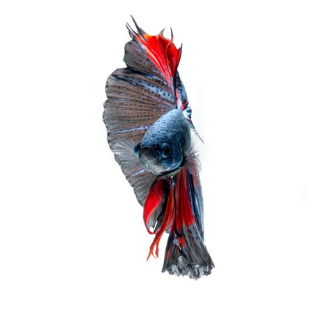 dragon swim: Capture the moving moment of red-blue siamese fighting fish isolated on white background. betta fish, betta splendens, ikan cupang.