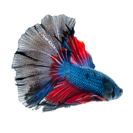 splendens: Capture the moving moment of red-blue siamese fighting fish isolated on white background. betta fish, betta splendens, ikan cupang.